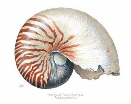 australian pearly nautilus